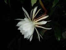 Sola flor blanca Foto de archivo libre de regalías