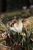 Sola flor blanca Fotografía de archivo