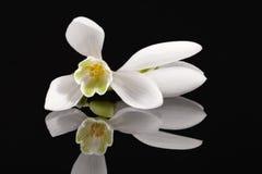 Sola flor blanca de la primavera del snowdrop aislada en fondo negro Imagenes de archivo