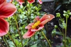 Sola flor de la dalia anaranjada con una abeja en el jardín botánico de Berlín Imagen de archivo