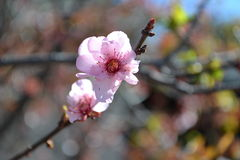 Sola flor de la flor de cerezo Foto de archivo libre de regalías