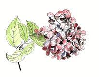 Sola flor de la hortensia con la hoja, aislada, mano dibujada Fotos de archivo libres de regalías