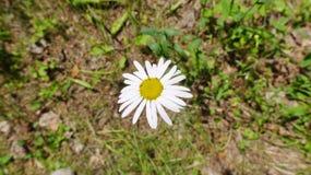 Sola flor de la manzanilla Foto de archivo