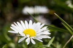 Sola flor de la margarita Imagen de archivo libre de regalías