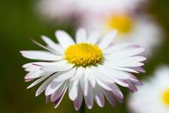 Sola flor de la margarita Foto de archivo libre de regalías