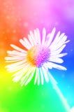 Sola flor de la margarita en fondo del bokeh del arco iris Fotos de archivo