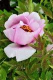 Sola flor de la peonía en las hojas verdes Imagenes de archivo