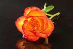 Sola flor de la rosa del amarillo en fondo negro Fotografía de archivo