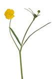 Sola flor de oro salvaje aislada en blanco fotos de archivo libres de regalías