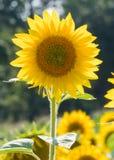 Sola flor de Sun derecho Fotos de archivo