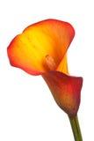 Sola flor de un lirio de cala anaranjado Imagen de archivo