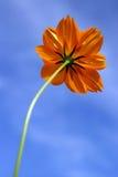 Sola flor del amarillo anaranjado y cielo azul Fotos de archivo libres de regalías