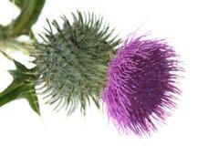 Sola flor del cardo aislada Imágenes de archivo libres de regalías