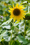 Sola flor del girasol Foto de archivo