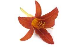 Sola flor del lirio Fotografía de archivo