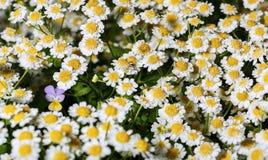 Sola flor del pensamiento entre manzanilla farmacéutica de las flores Fotos de archivo libres de regalías