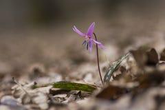Sola flor del perro-diente en la madera Fotos de archivo