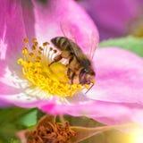 Sola flor del verano y una abeja Fotografía de archivo libre de regalías