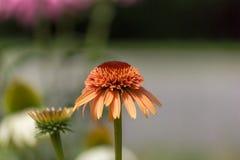Sola flor en colores pastel ligera del cono Fotografía de archivo libre de regalías