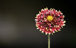 Sola flor hermosa Foto de archivo libre de regalías