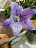 Sola flor púrpura Fotografía de archivo