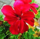 Sola flor roja brillante del geranio foto de archivo