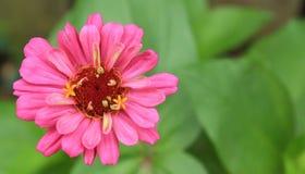 Sola flor rosada joven del Zinnia alrededor a la floración Fotografía de archivo