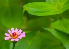 Sola flor rosada joven del Zinnia en izquierdo inferior Fotografía de archivo