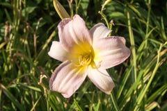 Sola flor rosada poner crema Foto de archivo