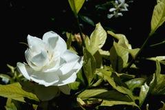 Sola floración blanca Fotografía de archivo