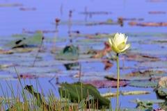 Sola floración en verano Imágenes de archivo libres de regalías