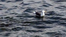 Sola gaviota que se sienta en el océano Monterey California almacen de video