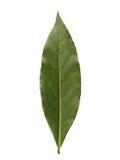 Sola hoja de laurel aislada en el fondo blanco Imagen de archivo libre de regalías