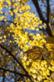 Sola hoja del otoño amarillo con follaje en el fondo foto de archivo