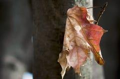 Sola hoja en árbol Imagenes de archivo
