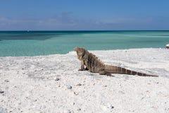 Sola iguana en la playa de piedra Imágenes de archivo libres de regalías
