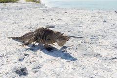 Sola iguana en la playa de piedra Fotografía de archivo libre de regalías