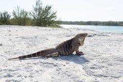 Sola iguana en la playa de piedra Imagen de archivo