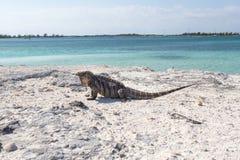 Sola iguana en la playa de piedra Fotos de archivo libres de regalías