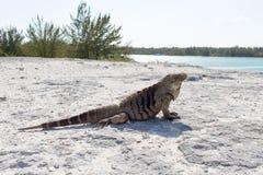 Sola iguana en la playa de piedra Foto de archivo libre de regalías