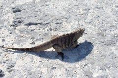 Sola iguana en la playa de piedra Fotos de archivo