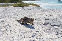 Sola iguana en la playa de piedra Fotografía de archivo