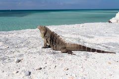 Sola iguana en la playa de piedra Foto de archivo