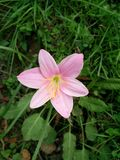 Sola imagen rosada de la flor Fotos de archivo libres de regalías