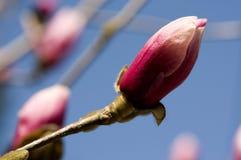 Sola magnolia del perrito imagen de archivo