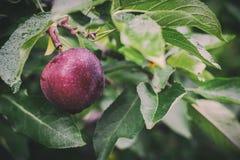 Sola manzana roja que cuelga de un árbol imagen de archivo libre de regalías
