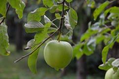 Sola manzana verde en árbol fotos de archivo libres de regalías