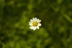 Sola margarita Fotografía de archivo libre de regalías