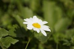 Sola margarita blanca Fotografía de archivo