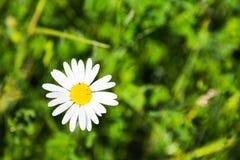 Sola margarita blanca pura de la primavera Imagenes de archivo